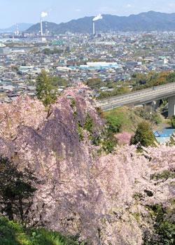 桜満開長谷寺